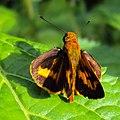 Oriens goloides - Smaller Dartlet 03.JPG