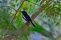 Oriental magpie-robin, Rabindra Sarobar DSF9728.jpg