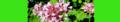 Origanum vulgare. Reader.png