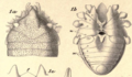 Original illustration of Ogovea nasuta.png