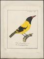 Oriolus melanocephalus - 1700-1880 - Print - Iconographia Zoologica - Special Collections University of Amsterdam - UBA01 IZ16400197.tif