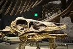Ornithomimus sp skull salt lake city.jpg