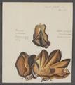 Ostrea crista-galli - - Print - Iconographia Zoologica - Special Collections University of Amsterdam - UBAINV0274 074 08 0035A.tif
