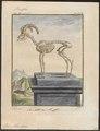 Ovis musimon - skelet - 1700-1880 - Print - Iconographia Zoologica - Special Collections University of Amsterdam - UBA01 IZ21300091.tif