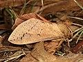 Oxycanus subvaria (41112131055).jpg
