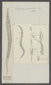 Oxyuris vermicularis - - Print - Iconographia Zoologica - Special Collections University of Amsterdam - UBAINV0274 104 03 0003.tif