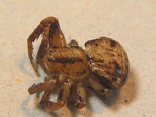 <i>Ozyptila trux</i> species of arachnid