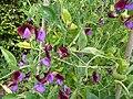 P1000303 Lathyrus odoratus (Cupani) (Leguminosae) Plant.JPG