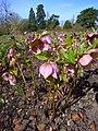 P1130494 Helleborus orientalis ssp. orientalis (Ranunculaceae).JPG