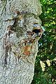 PL-LU Rezerwat przyrody Lasy Janowskie, dąb szypułkowy - pomnik przyrody 2016-08-27--13-10-43-002.jpg