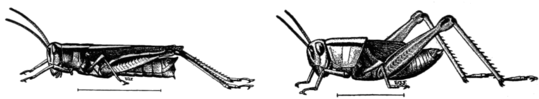 PSM V81 D472 Two striped locust or grasshopper.png
