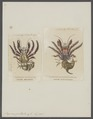 Pagurus guttatus - - Print - Iconographia Zoologica - Special Collections University of Amsterdam - UBAINV0274 096 11 0011.tif