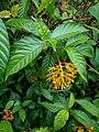 Palicourea croceoides (Rubiaceae) 08.jpg