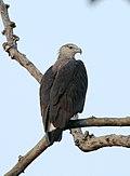Pallas's Fish-eagle Haliaeetus leucoryphus by Dr. Raju Kasambe IMG 0582 (10).CR2.JPG