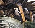 Palm-nut Vulture Gypohierax angolensis CF2P0579 (23166070003).jpg