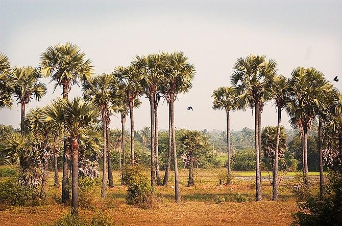 English: Palm Trees in Tamil Nadu