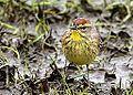 Palm Warbler (8705161373).jpg
