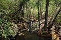Pandanus livingstonianus01.jpg