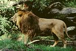 Panthera leo persica male