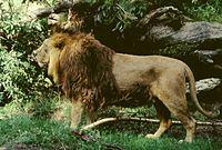 Panthera leo persica male