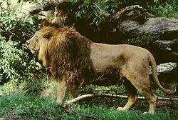 Gir India Male