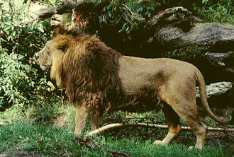 Fauna of India - Asiatic lion