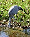 Paradieskranich Anthropoides paradisea Tierpark Hellabrunn-15.jpg