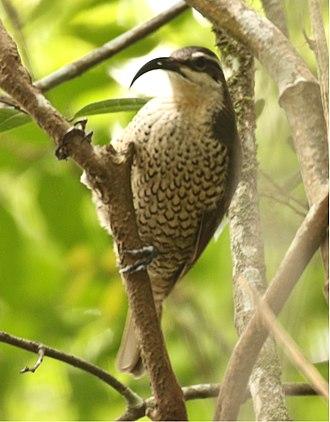 Paradise riflebird - Image: Paradise Riflebird