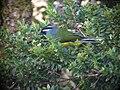Paramythia montium -Papua New Guinea-6.jpg