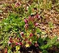 Parentucellia latifolia 2601.jpg