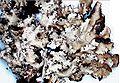 Parmotrema crinitum-4.jpg