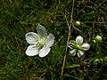 Parnassia palustrisSLO.JPG