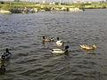 Parque cidade Povoa Varzim patos selvagens corvo marinho.jpg