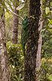 Parson's Chameleon (Calumma parsonii) (8603112289).jpg