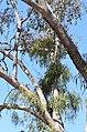 Parsonsia eucalyptophylla DSC 1191 (15228748330).jpg