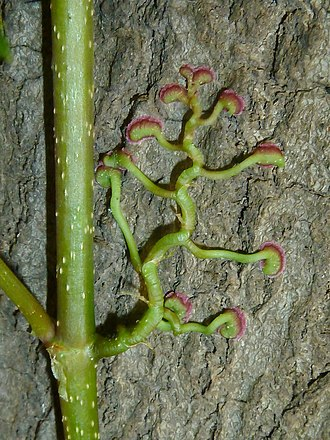 Parthenocissus quinquefolia - Climbing roots with adhesive pads, which are absent in P. vitacea