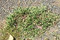 Paspalum dilatatum plant4 (7185808591).jpg