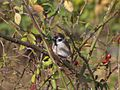 Passer montanus Seoski vrabac.jpg