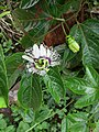 Passiflora edulis passion fruit flower.jpg