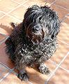 Pastorcatalan3.jpg