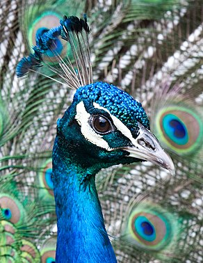 Pavo cristatus -Cincinnati Zoo, Ohio, USA -male-8a.jpg