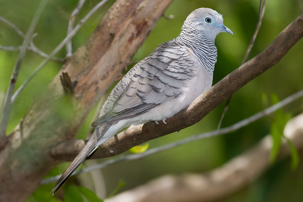 Peaceful dove Wikipedia