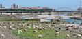 Pecore al pascolo nel greto dal Centa.png