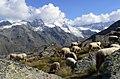 Pecore in Paradiso 10.JPG