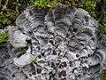 Pectenia cyanoloma 407184.jpg