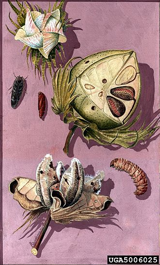 Pink bollworm - Image: Pectinophora gossypiella 5006025