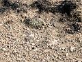 Pediocactus simpsonii in SW Idaho.jpg