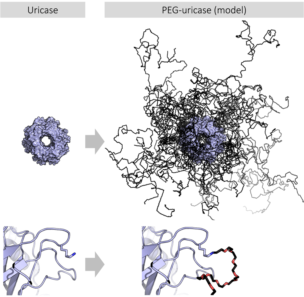 https://upload.wikimedia.org/wikipedia/commons/thumb/1/11/PegUricase.png/1051px-PegUricase.png