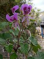 Pelargonium cordifolium Potberg 1.jpg