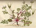 Pelargonium myrrhifolium var. coriandrifolium B528.jpg